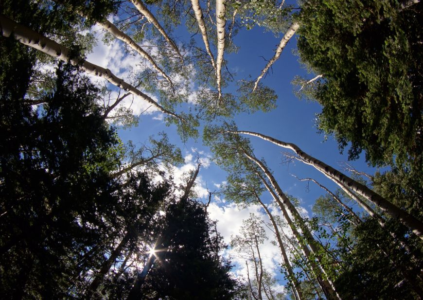 Looking up at aspen trees with fisheye lens