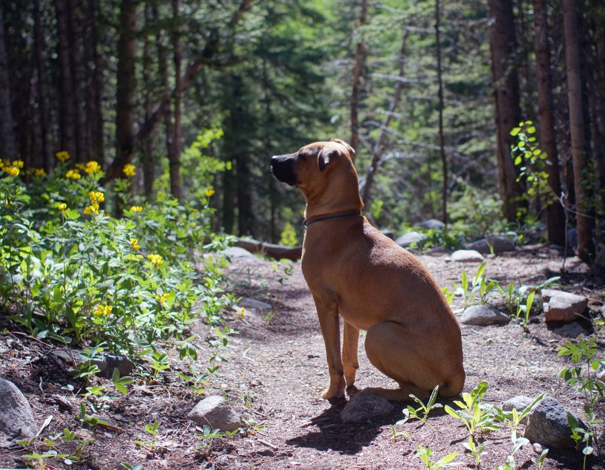 Hiking dog on Colorado hiking trail to Modeno Lake